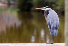 Resting Heron Stock Photography