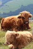Resting Highland Cattle Calf. A highland cattle calf resting on moorland with the mother cow keeping a careful watch over him Stock Images