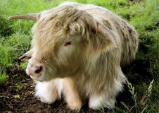 The resting highland cow,Scotland stock image