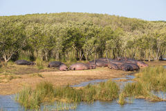 Resting hippos Stock Photos