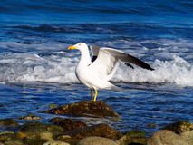 Proud seagull royalty free stock photography