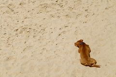 Resting. Honey-brown  dog resting on the sand in Tel-Aviv beach Royalty Free Stock Image