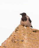 Resting Hooded Crow Royalty Free Stock Photos
