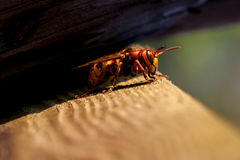 Resting hornet Royalty Free Stock Images