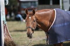 Resting Horse. At a dressage event Royalty Free Stock Photography