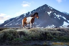Iceland horse. An resting horse in Iceland Royalty Free Stock Photos