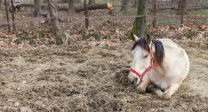 Resting horse. White horse resting in dry grass, lying down Royalty Free Stock Photos