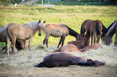 Resting horses Royalty Free Stock Photos