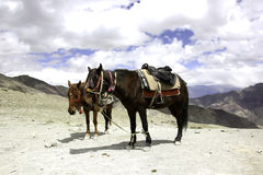 Horses Resting on the Roof of the World Stock Photos
