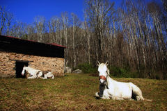 Resting Horses. White and brown paint horse and white horse resting on ground with rock & wood barn in background with blue sky Royalty Free Stock Photography