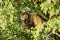 Resting Howler Monkey Stock Images