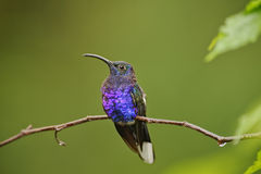 Resting Hummingbird. La Paz Waterfall Gardens, Costa Rica stock photos