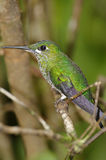 Resting Hummingbird Stock Images