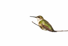 Resting hummingbird, isolated. Royalty Free Stock Image
