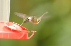Resting Hummingbird Stock Photography