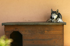 Resting husky dog Royalty Free Stock Photo
