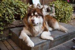 Resting husky dog Stock Image