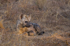 Resting hyena pup Stock Photography