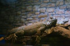 Resting iguana Stock Image