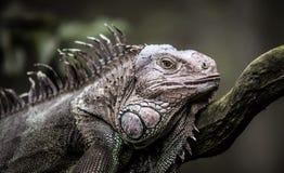 Resting iguana. On the tree Royalty Free Stock Photo