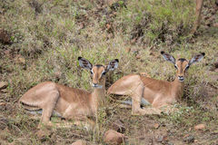 Resting Impala. In the African lansdcape Royalty Free Stock Image