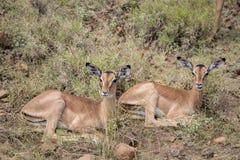 Resting Impala Royalty Free Stock Image