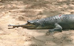 Resting Indian crocodile gharial closeup photo Royalty Free Stock Photo
