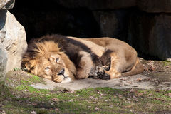 A resting Indian lion. Indian lion, Panthera leo persica, resting in the sun Royalty Free Stock Photo