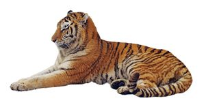 Resting isolated tiger royalty free stock photos