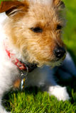 Resting Jack. A brown headed rough coat Jack Russell Terrier with a green spring lawn in the background Royalty Free Stock Photo