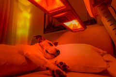 Red light therapy dog. Resting jack russell dog under tanning bed and red light therapy treatment , healing and recovering from pain low light picture Stock Photography