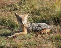 Resting Jackal. A jackal resting on grassy ground in Botswana stock image