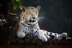 Resting jaguar Royalty Free Stock Photos