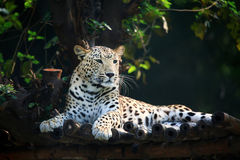 Resting jaguar Stock Images