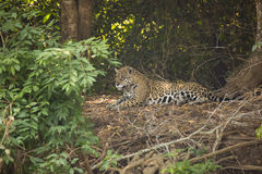 Resting Jaguar in Forest Clearing. A jaguar with beautiful orange, white and black rosettes,rests in a dense jungle clearing amongst the dense green trees and Stock Images