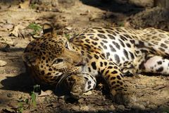 A resting Jaguar in side way. Jaguar is one the biggest cat in the world after lion and tiger. It is primarily inhabits the tropical rainforest of Central and royalty free stock photo