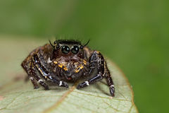 Resting jumping spider Royalty Free Stock Photos