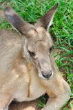 A Resting Kangaroo Royalty Free Stock Photography
