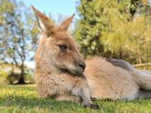 Resting kangaroo Stock Image