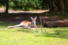 Resting Kangaroo Royalty Free Stock Photo