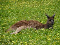 A resting kangaroo on the grass Royalty Free Stock Image