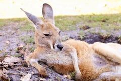 Resting kangaroo on the green field Stock Photo