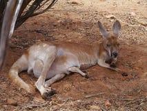 Resting Kangaroo with a joey Stock Photography