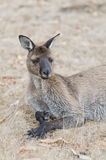 Resting kangaroo on Kangaroo Island. Resting kangaroo in Hanson Bay on Kangaroo Island, Australia Royalty Free Stock Images