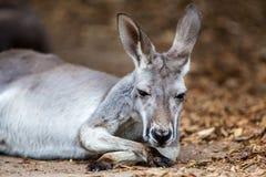 Resting Kangaroo Stock Photos