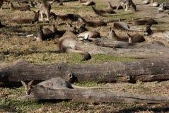 Resting kangaroo Royalty Free Stock Image