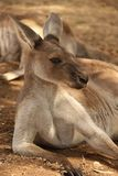 Resting Kangaroo Royalty Free Stock Photos