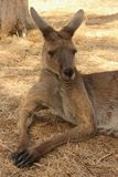 Resting Kangaroo Royalty Free Stock Photography