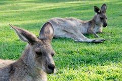 Resting kangaroos Royalty Free Stock Image