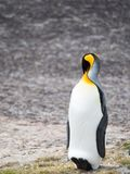 Resting King Penguin with  Its Head Bent Over His Torso. A king penguin resting with its head tucked behind its right shoulder leaning back on its heels and tail Royalty Free Stock Photo